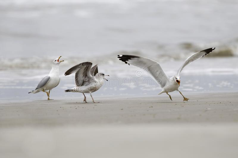 Ring-billed Gulls in a dispute over territory - Jekyll Island, Georgia royalty free stock photos