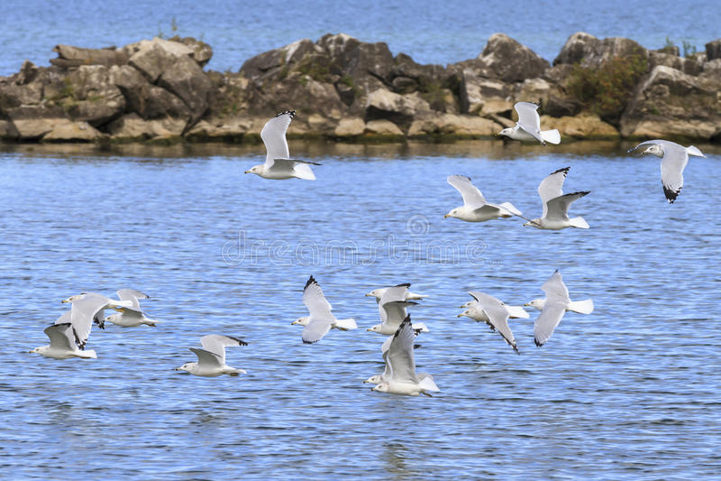 Ring-billed gulls. Larus delawarensis flying over Lake Erie, Lorain, Ohio, USA stock images