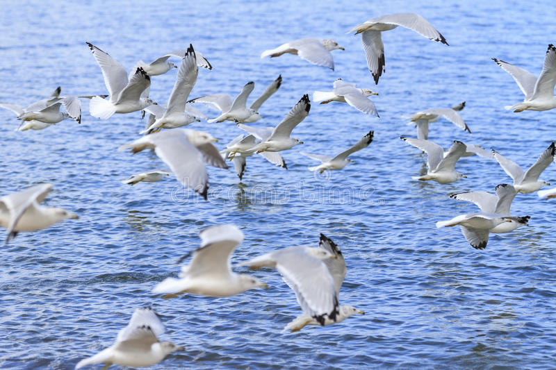 Ring-billed gulls. Larus delawarensis flying over Lake Erie, Lorain, Ohio, USA stock photography