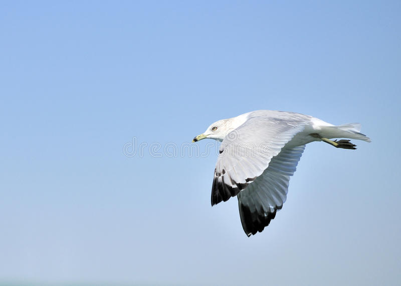 Download Ring-billed Seagull stock image. Image of seagull, ring - 13308513
