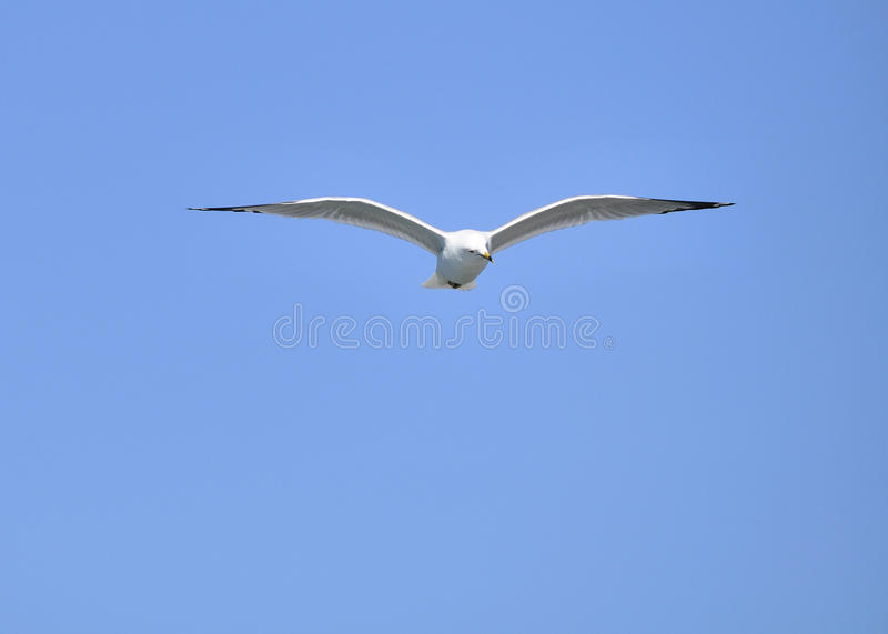 Download Ring-billed Seagull stock photo. Image of birdwatching - 13308518