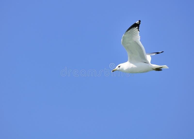 Download Ring-billed Seagull stock image. Image of soaring, birding - 13412485