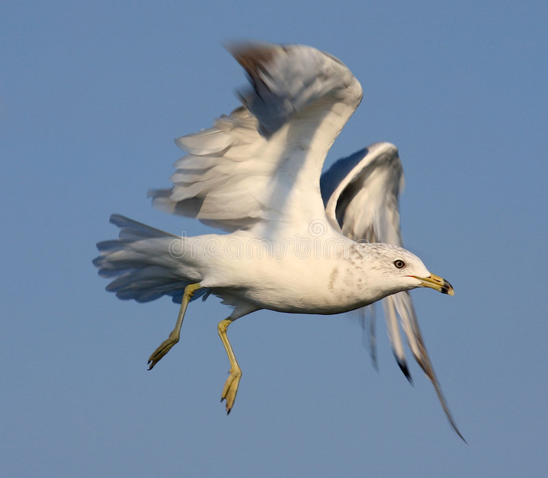 Ring-billed Seagull Royalty Free Stock Images