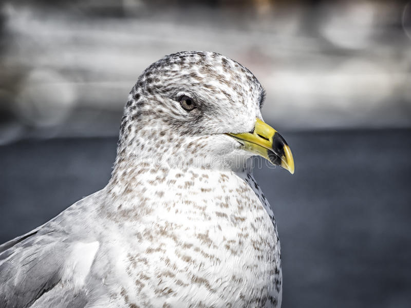 Ring-billed seagull closeup royalty free stock photo