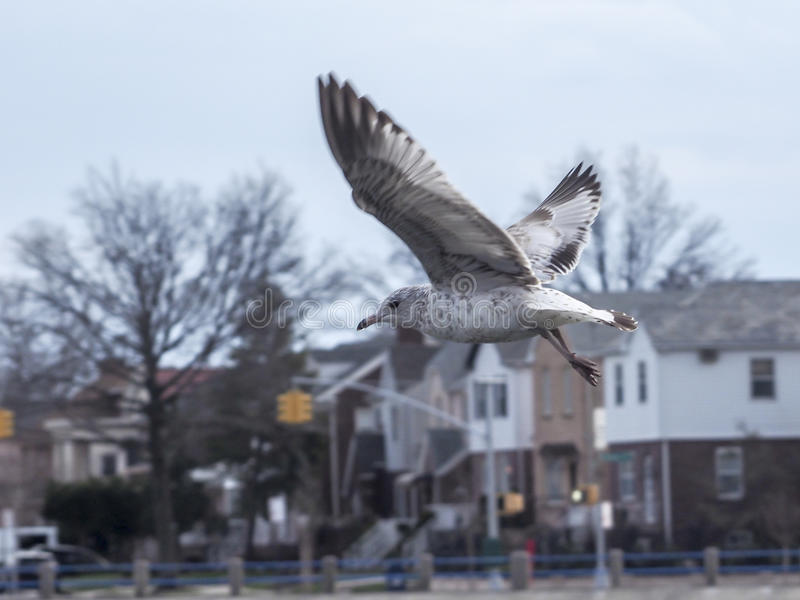 Ring-billed seagull in flight. stock images