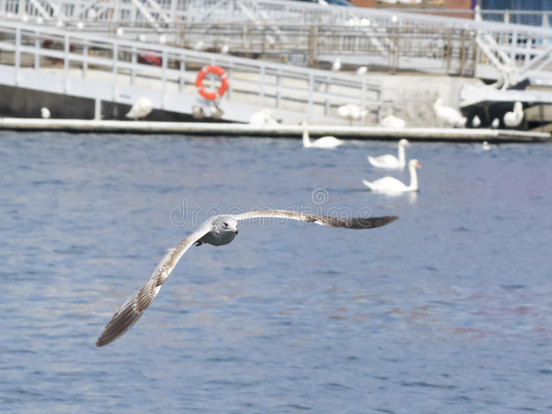 Ring-billed seagull in flight. Ring-billed seagull in flight with swans and mooring in background stock photo