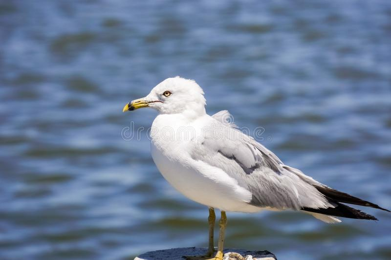 Ring billed seagull Larus delawarensis in the Baylands Park, Palo Alto, California stock photos
