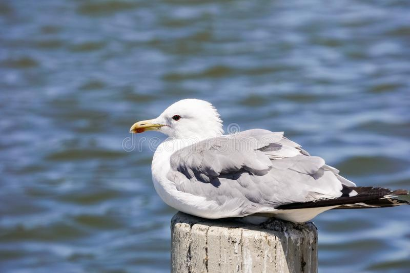 Ring billed seagull Larus delawarensis in the Baylands Park, Palo Alto, California royalty free stock photo
