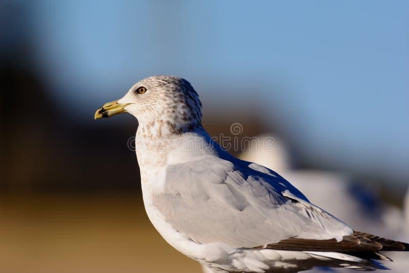 Ring Billed Seagull Perched op een omheining die weg aan de linkerzijde staren royalty-vrije stock fotografie