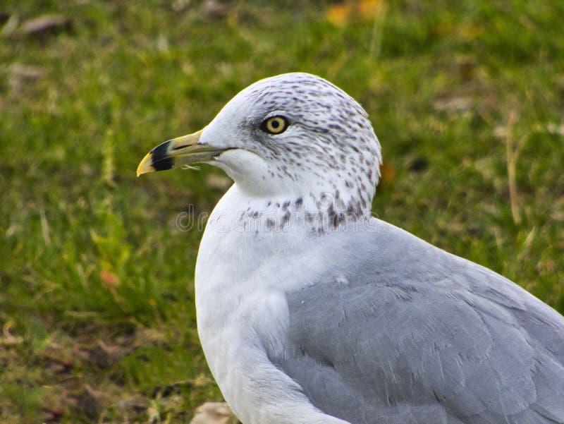 Ring Bled Gull royalty-vrije stock foto