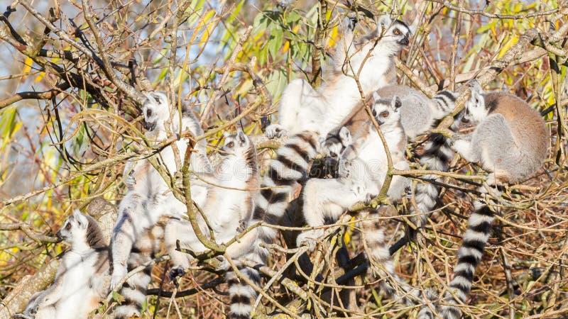 Ring-de steel verwijderde van catta van de makimaki, groep in een boom stock fotografie
