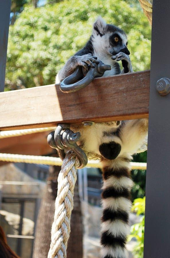 Ring-de steel verwijderde van makivrijgezel die overweging en nieuwsgierigheid in Taronga-dierentuin tonen royalty-vrije stock foto
