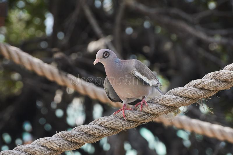 Ring Eyed Bare-Eyed Pigeon. Ring Eyed Bare=-Eyed Pigeon can be found in Aruba,  Colombia and Venezuela royalty free stock image
