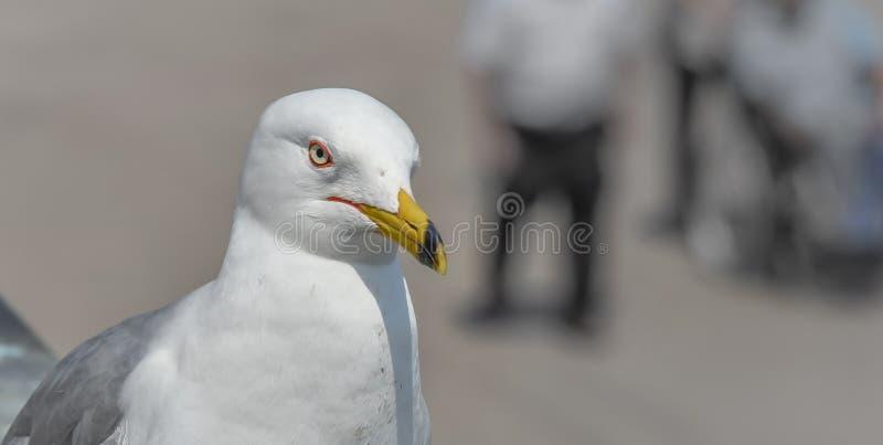 Ring-gefactureerde Meeuw (Larus-delawarensis) pauzes op een richel sluit omhoog van zeer gemeenschappelijke vogel aangezien het v royalty-vrije stock fotografie