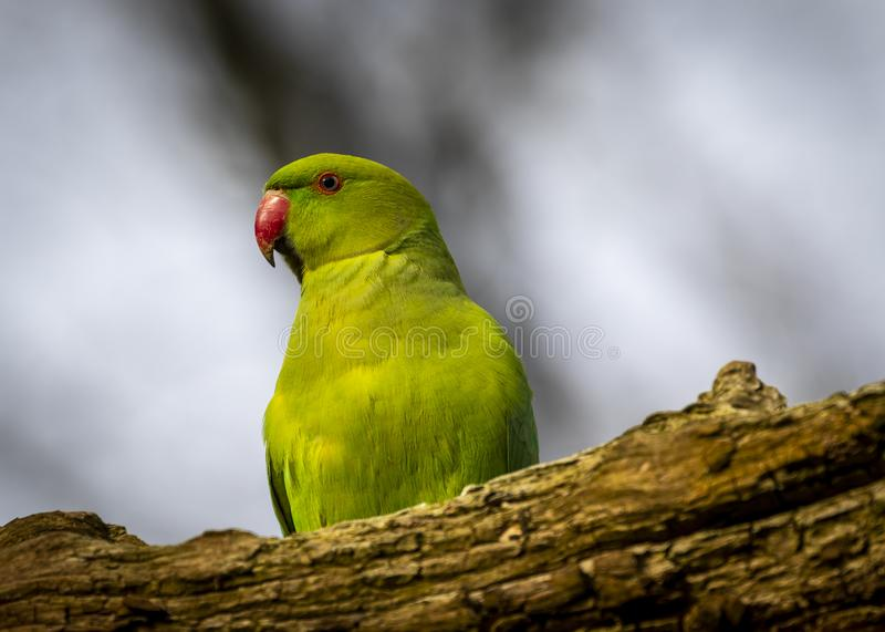 Ring neck parakeet. Indian ring neck parakeet. Found in India, Asia and Europe royalty free stock photography