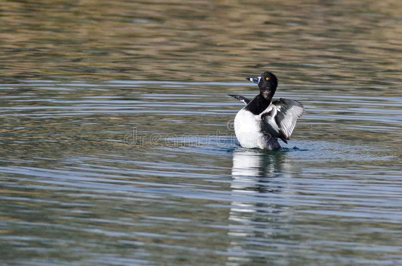 Ring-Necked Duck Stretching Its Wings While die op het Water rusten royalty-vrije stock afbeelding