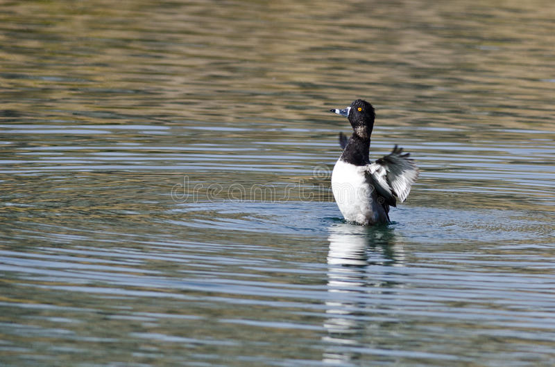Ring-Necked Duck Stretching Its Wings While die op het Water rusten royalty-vrije stock foto