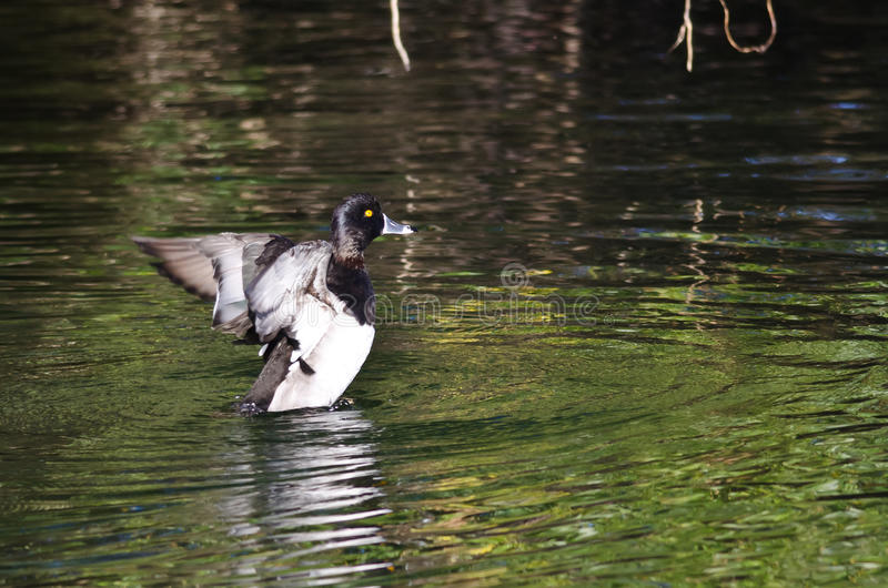 Ring-Necked Duck Stretching Its Wings op het Water stock foto