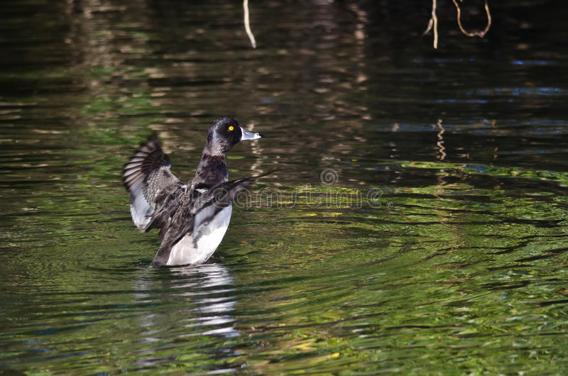 Ring-Necked Duck Stretching Its Wings op het Water stock foto's