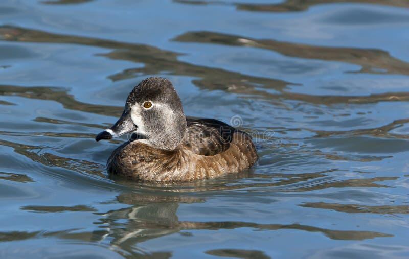 Ring-necked Enten-Henne lizenzfreie stockfotografie