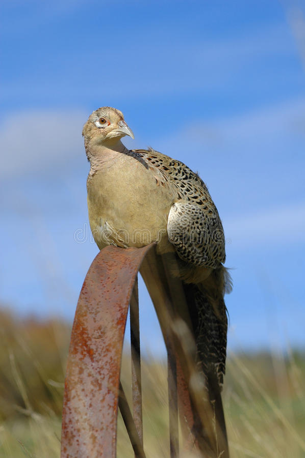 Ring-necked Fasan (Phasianus colehicus) lizenzfreies stockbild