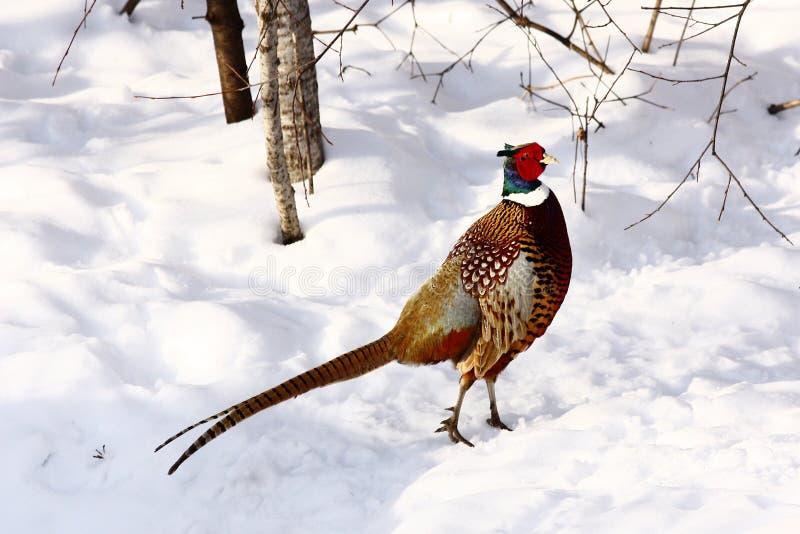 Ring-necked fazant stock foto