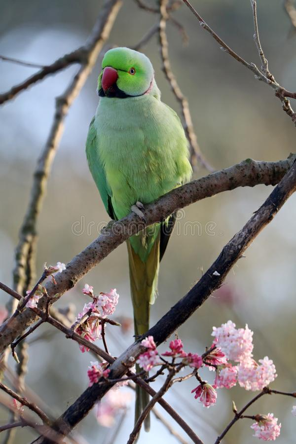 Ring Necked Parakeet fotografie stock