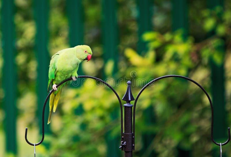 Ring Necked Parakeet verde colorido empoleirou-se em um alimentador do pássaro fotografia de stock royalty free