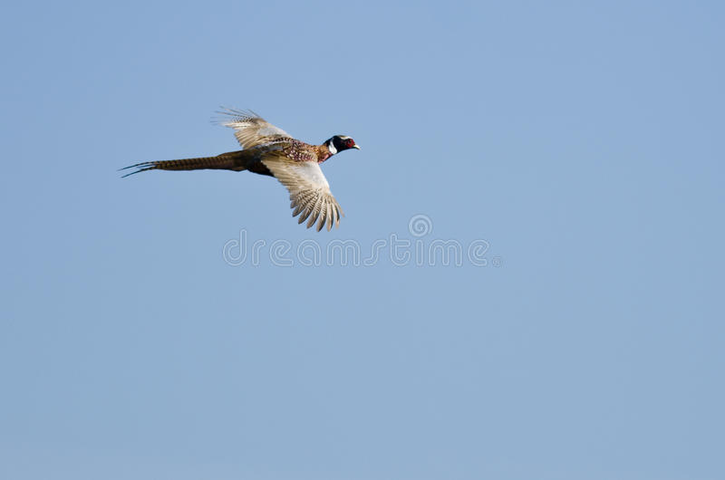 Ring-Necked Pheasant Flying in a Blue Sky stock photography