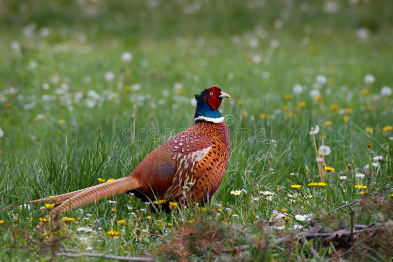 Ring-necked pheasant in the natural environment. Common Pheasant in the park, Ring-necked Pheasant in the grass field with spring flowers royalty free stock photos