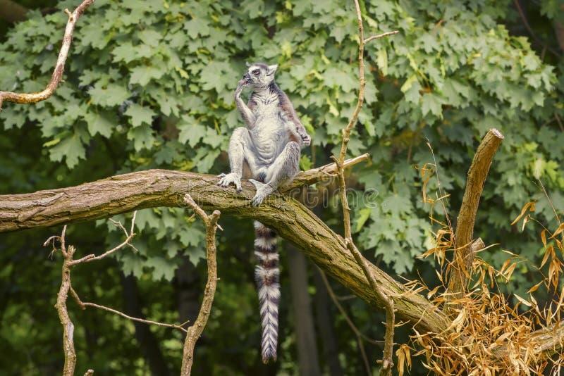 Ring Tail Lemur, Lemur Catta, ein Strepsirrhein-Primat mit einem extrem langen, stark gewölbten Schwanz, schwarz-weiß bedeckt stockfotos