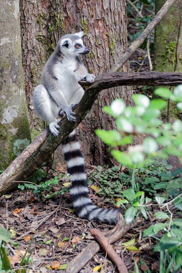 Ring Tail Lemur koppla av royaltyfri foto