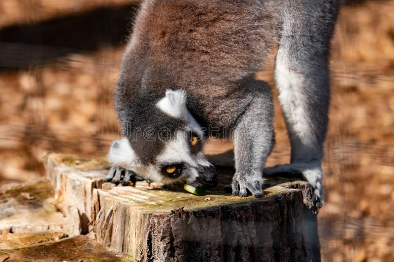 Ring tail Lemur - part of the prosimian family. Portrait of a ring tail lemur. In wildlife stock image