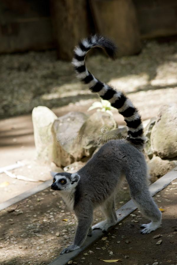 The ring tail lemur is walking. The ring tail lemur has his tail in the air while walking royalty free stock photography