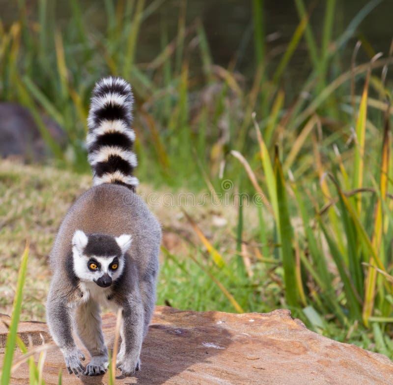 Ring Tail Lemur. A ring tail lemur walking on a rock stock photography