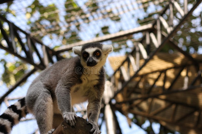 Ring tail Lemur. In the zoo royalty free stock photo