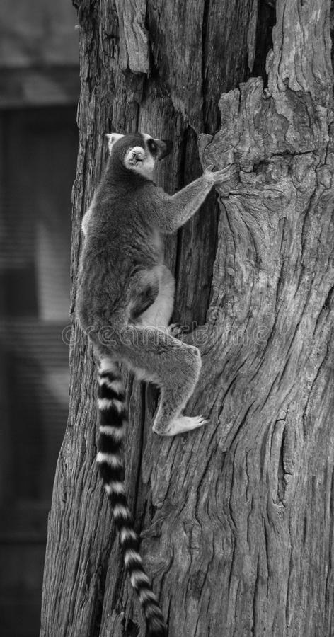 Ring Tailed Climber images libres de droits