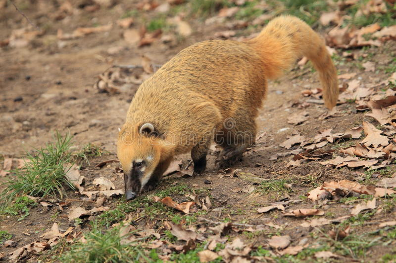 Download Ring-tailed coati stock photo. Image of american, south - 23183304