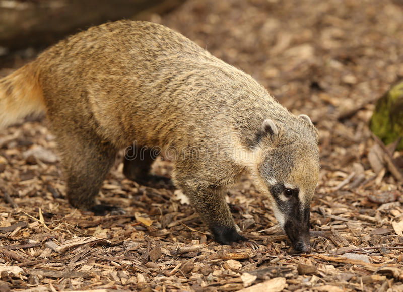 Ring-Tailed Coati stock photo