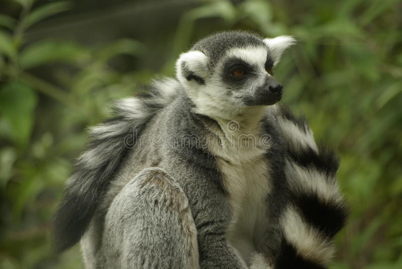 Ring Tailed Leamur Close Up immagine stock