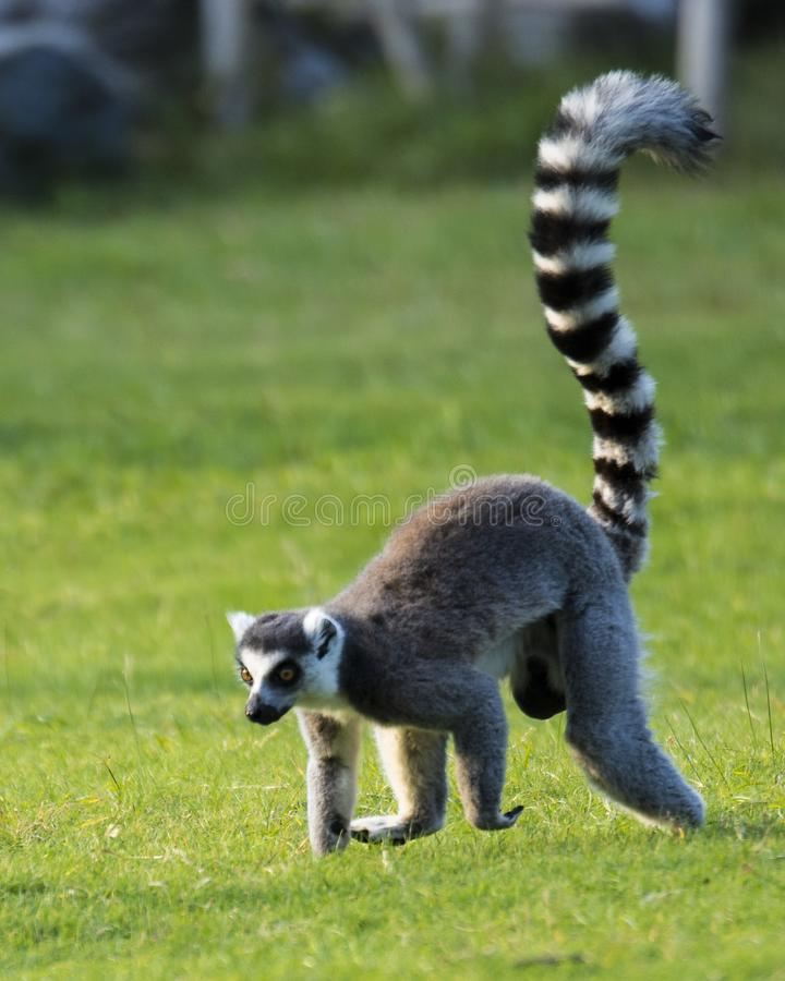 Free Ring-tailed Lemur Stock Photography - 134079722