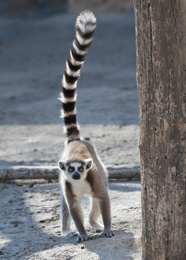 Ring Tailed Lemur. Standing on the ground with tail erect stock photos
