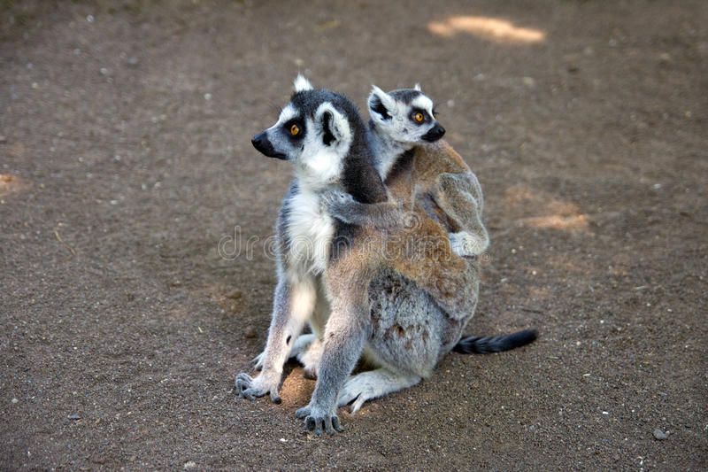 Download Ring-tailed lemur stock photo. Image of looking, africa - 26827330