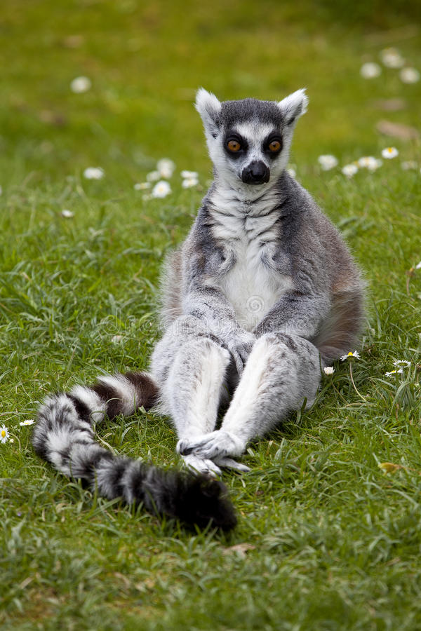 Ring Tailed Lemur photographie stock