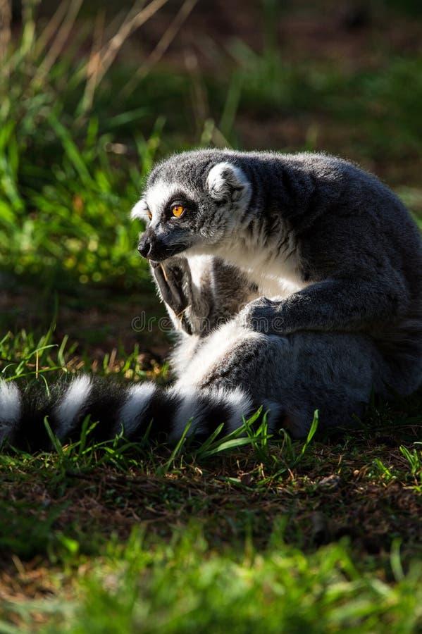 Ring Tailed Lemur image stock