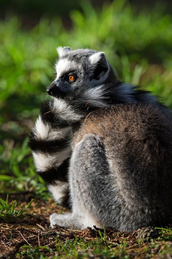 Ring Tailed Lemur images libres de droits