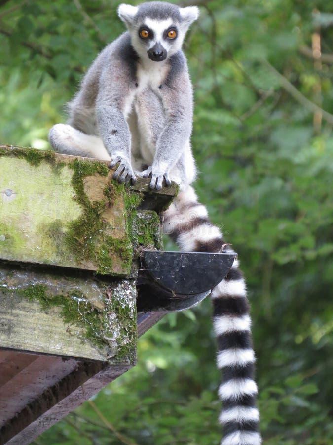 Ring Tailed Lemur stock foto's