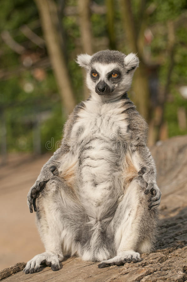 Ring-tailed lemur. It is image of ring-tailed lemur stock photo