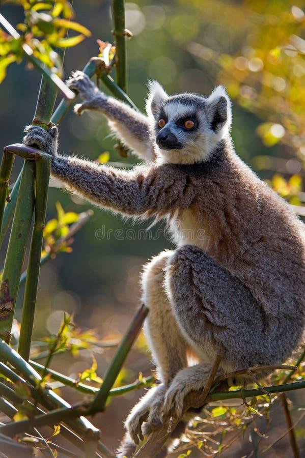 Ring Tailed Lemur photos stock