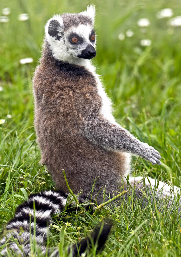 Free Ring-tailed Lemur 4 Stock Photography - 43243482